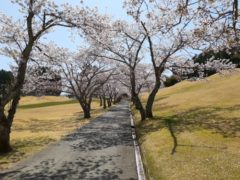 桜の季節なのに